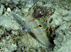 Randall's shrimpgoby (Amblyeleotris randalli), Solomon Islands