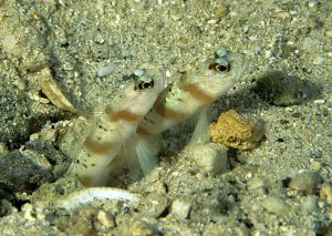 Shrimpgoby (Amblyeleotris sp), Solomon Islands