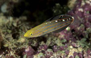 Old glory (Amblygobius rainfordi),  Solomon Islands