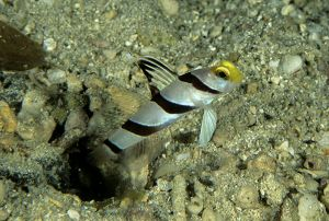 Yellownose shrimpgoby (Stonogobiops xanthorhinica),  Solomon Islands