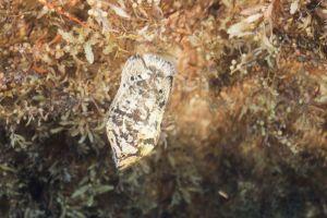 Tripletail (Lobotes surinamensis), Jupiter, Florida