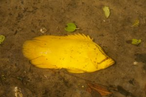 Tripletail (Lobotes surinamensis), Loxahatchee River, Florida