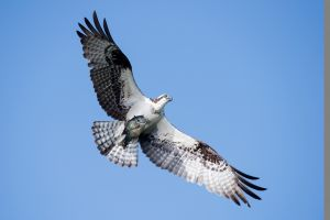 Osprey_Blue-Cypress-Lake_Florida_DBS4079-c57.jpg
