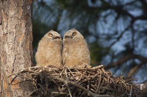 Great Horned Owl (Bubo virgninianus), young, Loxahatchee River, Florida